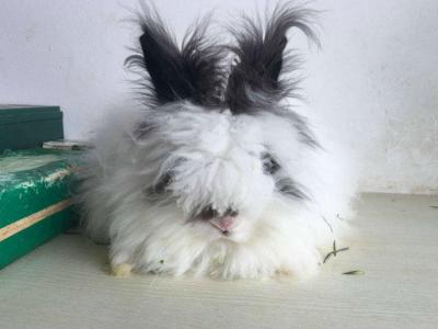 长期批发零售垂耳兔侏儒兔安哥拉兔淘宝交易终生售后 - 100元