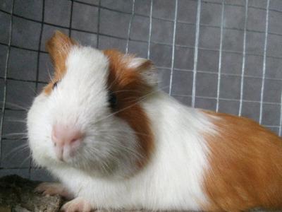 出售豚鼠荷兰猪,公母都有,除了卷毛。 - 100元