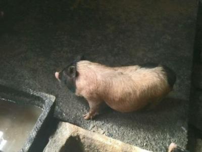 巴拿马香猪出售 - 600元