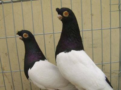 凤尾鸽价格 两头乌鸽多少钱一对 - 100元