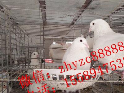 白玉王肉鸽种鸽,青年鸽,种鸽鸽子蛋,鸽笼 - 130