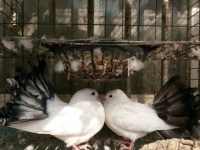 眼睛球 短嘴点子 彩背 燕子 俄罗斯等观赏鸽出售 - 400元