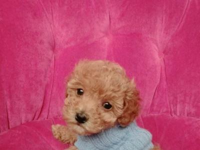 我家里的泰迪狗宝宝,需找个爱心人士领养