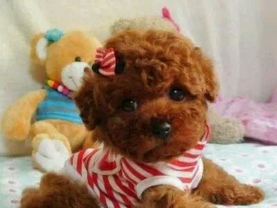 好消息 好消息 AAA宠物之家免费领养泰迪无需费用