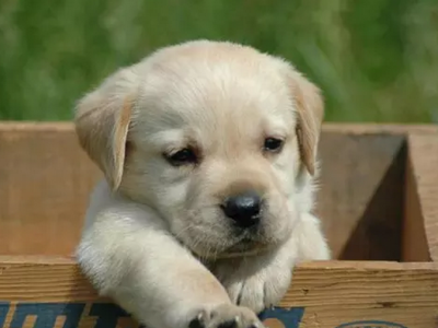 神犬小七拉布拉多、奶白色、咖啡色、黑色专业繁殖
