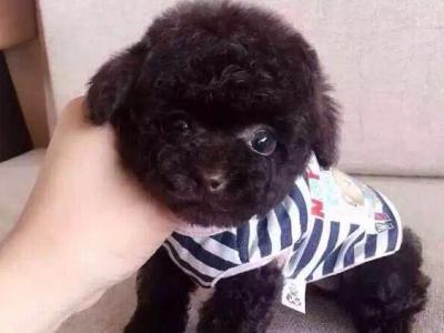 酒红色泰迪幼犬,毛色纯正,品相好,按时防疫已驱虫 - 1600元