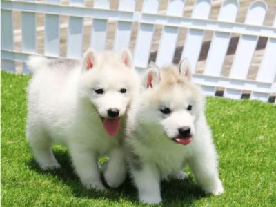 三火蓝眼 多只可挑 看狗生活环境 疫苗驱虫做好 - 1300元