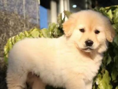 名犬养殖基地 专业养殖个种名犬 金毛出售 - 800元